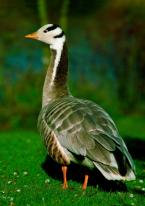 Husa indická,  Anser indicus, Bar-headed goose