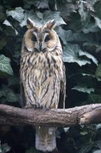 Kalous ušatý,  Asio otus,  Long-eared Owl