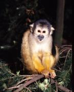 Kotul amazonský Saimiri boliviensis Black-capped squirrel monkey