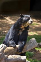 Medvěd brýlatý, Tremarctos ornatus, Spectacled bear