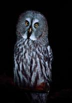 Puštík bradatý, Strix nebulosa, Great Grey Owl