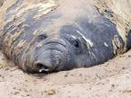 Rypouš sloní, Mirounga leonina, South Elephant  seal