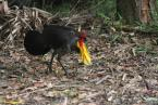 Tabon,  Alectura lanthami,Brush-turkey